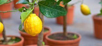 Obavezno zasadite limun: Smatra se svetim, pravi je magnet za bogatstvo, zdravlje i uspeh!