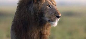 Snimak koji obilazi planetu: Video lava kog napada 20 hijena dramatičniji je od mnogih filmova